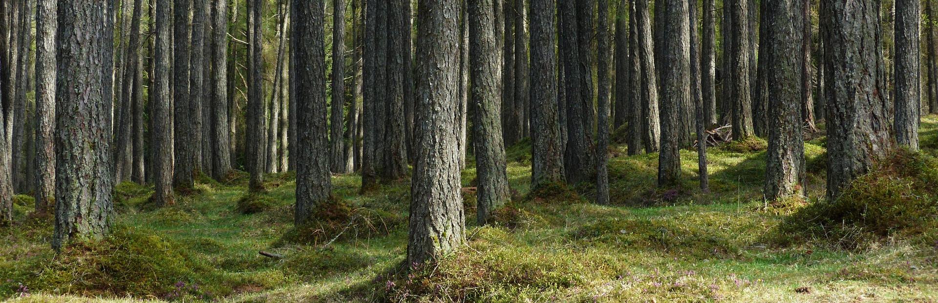 forêt mélèze bois